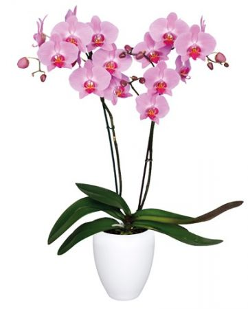 Kendall Orchid