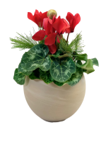 Holiday Cyclamen