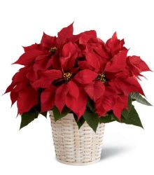Small Red Poinsettia Basket
